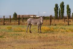 Plains zebra Equus quagga. Formerly Equus burchellii, also known as the common zebra or Burchell`s zebra Stock Image
