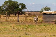 Plains zebra Equus quagga. Formerly Equus burchellii, also known as the common zebra or Burchell`s zebra Stock Photo