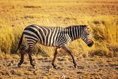 Plains zebra Equus quagga from side. Lit by afternoon sun, walking in African savanna. Amboseli national park, Kenya Stock Photo