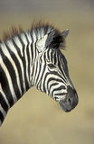 Plains zebra,  Equus quagga Stock Photo