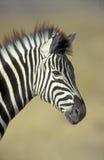 Plains zebra,  Equus quagga. Single mammal head shot, Namibia Stock Photo