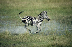 Plains zebra,  Equus quagga Stock Images