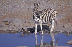 Plains zebra,  Equus quagga. Single mammal at water, Namibia Stock Photos