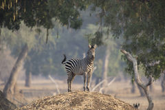 Plains Zebra (equus quagga) on termite mound. Plains Zebra (equus quagga) on the look out on top of a termite mound Royalty Free Stock Photo