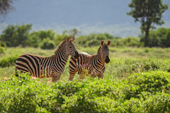 Plains Zebra - Equus quagga, Tsavo East, Kenya. Plains Zebra in Tsavo East National Park, Kenya Stock Photography