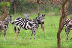 Plains zebra Stock Images