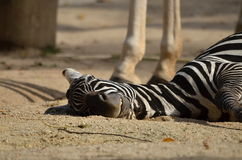 Plains zebra (Equus quagga) Royalty Free Stock Photography
