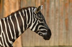 Plains zebra (Equus quagga) Stock Images