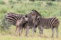 Plains Zebra Equus Quaggaherde Lizenzfreie Stockfotos