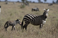 Plains zebra, Equus quaggai. Female and young on grass, Tanzania Royalty Free Stock Images