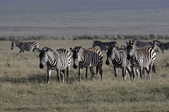 Plains zebra, Equus quaggai Stock Photos