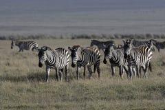 Plains zebra, Equus quaggai. Group mammals on grass, Tanzania Stock Photos