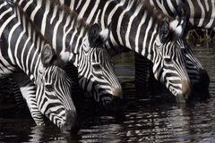 Plains zebra, Equus quaggai Royalty Free Stock Photography