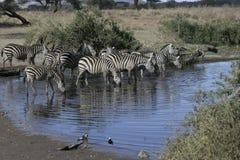 Plains zebra, Equus quaggai. Group mammals at water, Tanzania Stock Photo