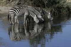 Plains zebra, Equus quaggai. Group mammals at water, Tanzania Royalty Free Stock Image