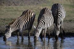 Plains zebra, Equus quaggai. Group mammals at water, Tanzania Stock Image