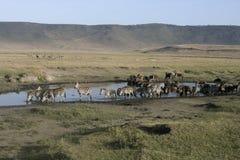 Plains zebra, Equus quaggai. Group mammals at water, Tanzania Royalty Free Stock Photography
