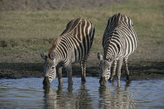 Plains zebra, Equus quaggai. Group mammals at water, Tanzania Royalty Free Stock Photo