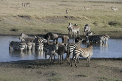 Plains zebra, Equus quaggai. Group mammals at water, Tanzania Royalty Free Stock Images