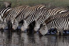 Plains zebra, Equus quaggai. Group mammals at water, Tanzania Royalty Free Stock Photos