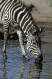 Plains zebra, Equus quaggai. Single mammal at water, Tanzania Stock Photo