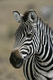 Plains zebra, Equus quaggai. Single mammals head shot, Tanzania Stock Photo