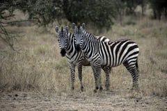 Plains zebra, Equus quaggai. Two mammals on grass, Tanzania Royalty Free Stock Photo