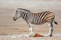 Plains zebra - Etosha National Park Royalty Free Stock Image