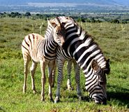 Plains Zebra foal cuddling Mare closely in Addo Elephant National Park Stock Images