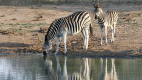 Plains zebra with foal drinking water stock video