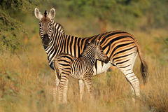 Plains zebra with foal Stock Images