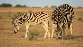 Plains zebra with foal Royalty Free Stock Photos