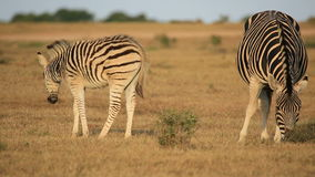 Plains zebra with foal stock footage