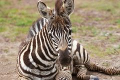 Plains zebra foal lying on the ground Stock Photography