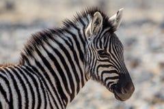 Plains zebra foal portrait Equus quagga. Etosha National Park, Namibia Royalty Free Stock Photos