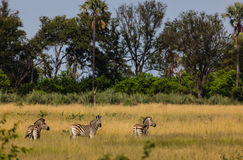 Plains zebra graze in grasslands of Chobe National Park, Botswana Royalty Free Stock Image