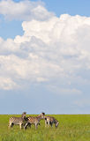 Plains Zebra on green grass Stock Photos