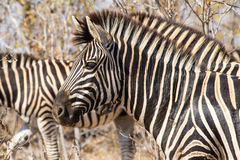 Plains Zebra Headshot. A Plains Zebra moving with the herd in Kruger National Park, South Africa Stock Photo