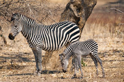 Plains zebra with her cub. Stock Images