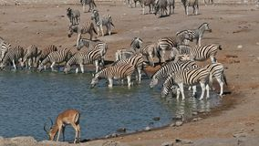Etosha waterhole - Namibia stock video footage