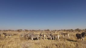 Plains zebra herd - Etosha stock footage