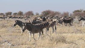 Plains zebra herd - Etosha stock video