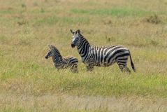 A Plains Zebra and its newborn foal royalty free stock photography