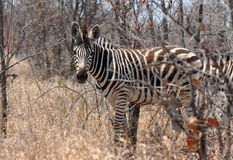 Plains zebra in Kruger national park,. Photo taken in northern part of Kruger national park in South Africa Royalty Free Stock Photography