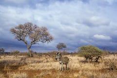 Plains zebra in Kruger National park, South Africa Royalty Free Stock Image