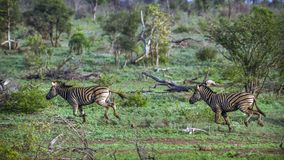 Plains zebra in Kruger National park, South Africa Royalty Free Stock Images