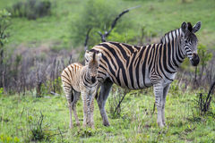 Plains zebra in Kruger National park, South Africa Royalty Free Stock Photography