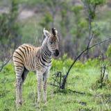 Plains zebra in Kruger National park, South Africa Stock Image