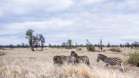 Plains zebra in Kruger National park Stock Image