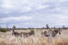 Plains zebra in Kruger National park Royalty Free Stock Photo